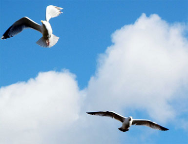 Scarborough Gulls